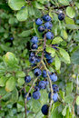 Sloes Royalty Free Stock Photo