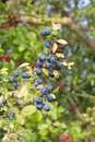 Sloes in the hedgerow Stock Image