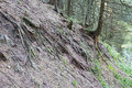 Sloping tree roots. Royalty Free Stock Photo
