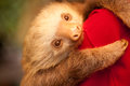 Sloth a at an animal shelter in costa rica Royalty Free Stock Photography