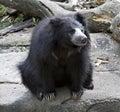 Sloth Bear Royalty Free Stock Photo