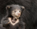Sloth bear cub Royalty Free Stock Photo