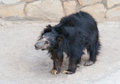 Sloth bear cub Royalty Free Stock Photo