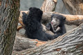Sloth bear cubs playing in trees melursus ursinus a forest of fallen Royalty Free Stock Photography