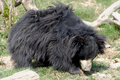 Sloth bear Royalty Free Stock Photo