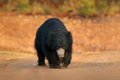 Sloth bear, Melursus ursinus, Ranthambore National Park, India. Wild Sloth bear staring directly at camera, wildlife photo. Danger Royalty Free Stock Photo