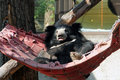 Sloth bear (Melursus ursinus) resting in a hammock Royalty Free Stock Photo