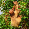 Sloth extant sloths are arboreal tree dwelling residents of the jungles of central and south america Royalty Free Stock Photography
