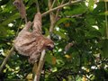 Sloth hanging from a branch in the jungle of panama central america Royalty Free Stock Images
