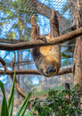 Sloth staring hanging from a tree at camera Royalty Free Stock Photos