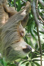 Sloth,three toe adult mother with baby, costa rica Stock Images