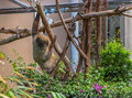 Sloth on a tree climbing branch in its cage Stock Image