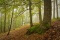 Slovak oak and beech forest in fog.