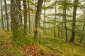 Slovak oak and beech forest in fog.