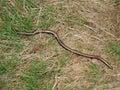 Slow worm anguis fragilis czech republic Royalty Free Stock Photography
