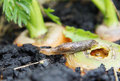 Slug eats carrots in garden the Stock Images