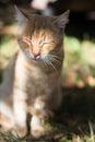 Slumbering red cat. Beautiful short-hair cat . Royalty Free Stock Photo