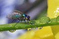 Slurp the tiny long legged fly taking a much needed drink from a drop of water on a blade of grass at a mere mm long a dewdrop Royalty Free Stock Photo