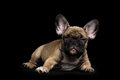 Sly french bulldog puppy lying squint looking front view isolated and on black background Royalty Free Stock Images