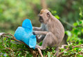 Sly monkey with stolen hat playful macaque thief blue female from a carefree tourist Stock Images