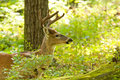 A small alert buck in velvet. Royalty Free Stock Photography