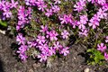 Small alpine purple flowers rock ground cover. Top view Royalty Free Stock Photo