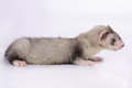 Small animal rodent ferret on a white background Stock Photography
