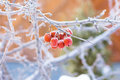 Small apples on a branch covered with hoarfrost in ice crystals. Royalty Free Stock Photo