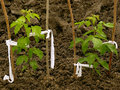Small ash leaved maples maple saplings two and half months from germination Royalty Free Stock Images