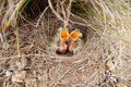 Small baby birds in a nest Stock Photo