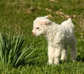 Small baby goat curiously looking flower leafs outside green meadow Stock Photo