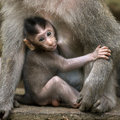 Small baby with mother rhesus macaque monkeys love care maternity concept Royalty Free Stock Photos