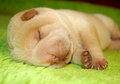 Small baby sharpei sleeping Royalty Free Stock Photo