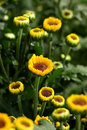 Small / Baby Sunflower Plants Royalty Free Stock Image