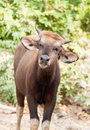 Small banteng is a species of wild cattle found in southeast asi also known as tembadau asia Stock Images