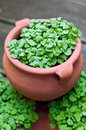 Small basil plants growing in pot Royalty Free Stock Photos