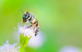 Small bees. Clean legs and mouth on Goat Weed Stock Photos