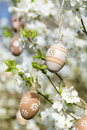 Small beige  easter eggs hanging on the branches of a blooming cherry tree Royalty Free Stock Photo