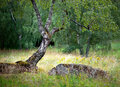 Small birch tree green summer landscape Stock Images