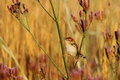 Small bird perched on flower a cisticola a plant Royalty Free Stock Images