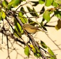 Small bird phylloscopus on plum tree canariensis branch of Royalty Free Stock Photos