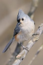 Small bird tufted titmouse striking curious pose parus bicolor Royalty Free Stock Images