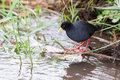 Small black crake eating fish in shallow running water a Stock Image