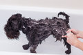 Small black dog having a bath Royalty Free Stock Photo