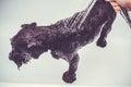 Small black dog having a bath Royalty Free Stock Photo