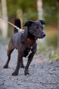 Small black doggie not purebred dog on walk the not purebred mongrel Stock Image