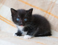 Small black fluffy kitten with blue eyes looking at fright plaid background Stock Photography