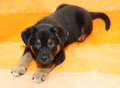 Small black puppy with brown markings lies on orange background Royalty Free Stock Photo