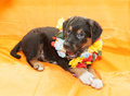 Small black puppy with brown markings plays on an orange backgro background opening mouth hawaiian wreath around his neck Royalty Free Stock Image
