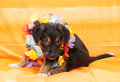 Small black puppy with brown markings plays on orange background hawaiian wreath around his neck Stock Photography